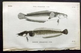 Pennant 1776 Antique Fish Print. Bearded Cod, Three Bearded Cod